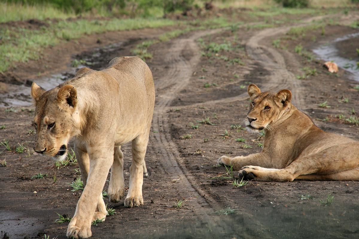 Lions_Tanzania_Matthias Krappitz